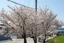 고향의 봄을 알리는 벚…