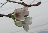 잎이진 벚꽃 나무에 핀 꽃